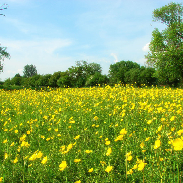 """Buttercup Yellow Meadow"" stock image"
