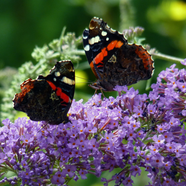 """Red Admiral Butterflies on Buddleia"" stock image"