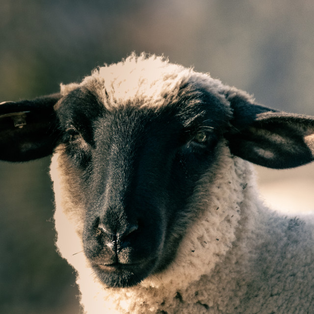 """""""Portrait of a sheep"""" stock image"""