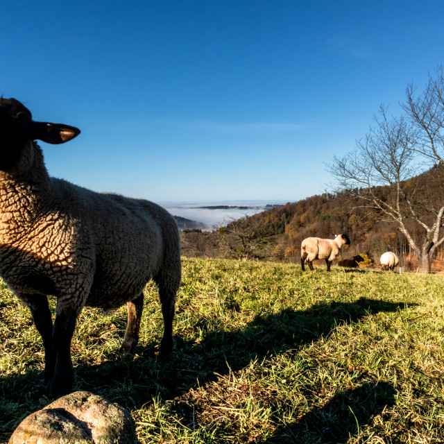"""""""Sheep in the Black Forest"""" stock image"""