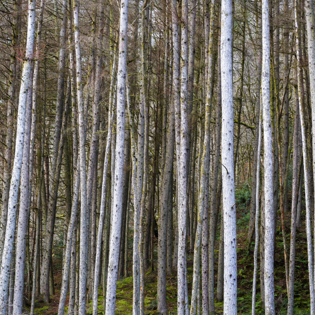 """""""Wintry forest of Birch trees"""" stock image"""