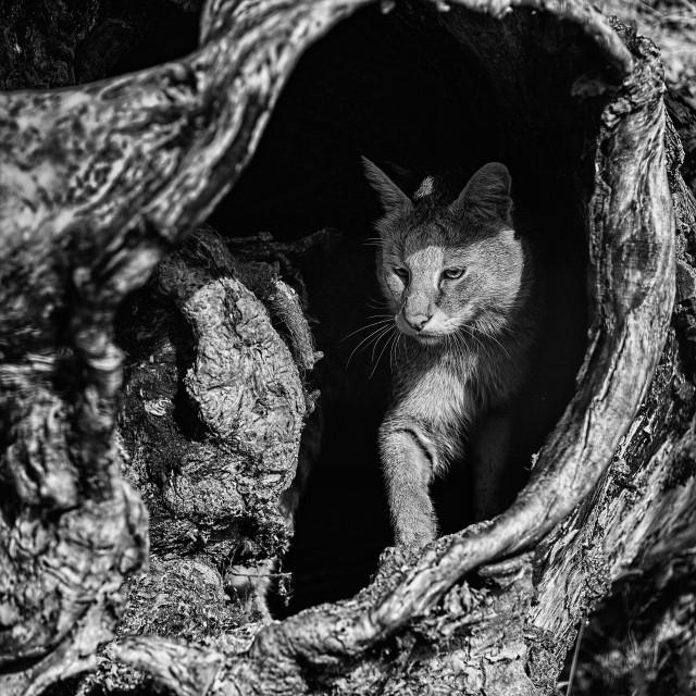 """Jungle Cat"" stock image"