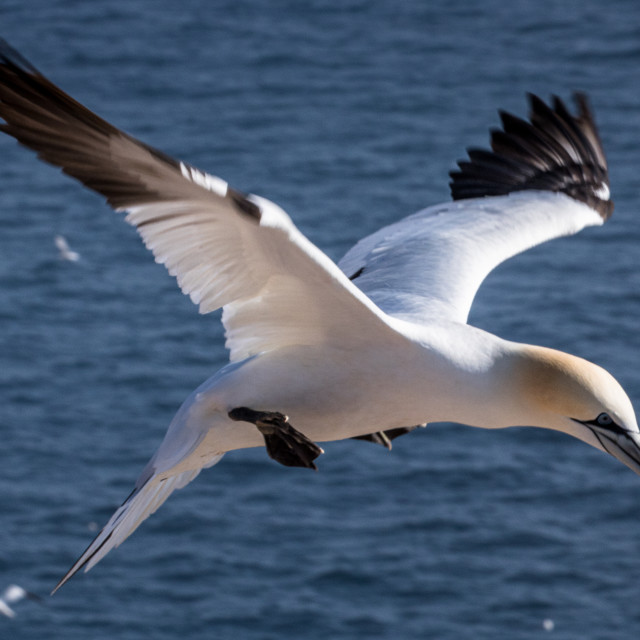 """""""Northern Gannet in action"""" stock image"""