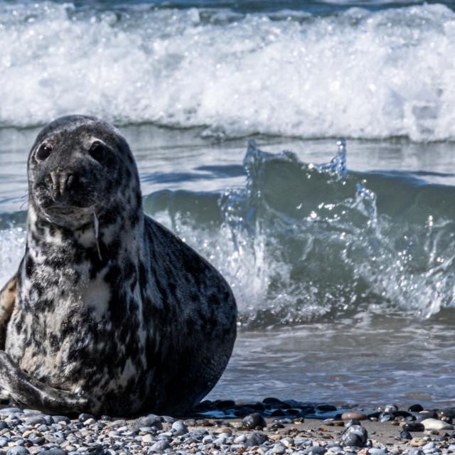 """Cute Seal"" stock image"