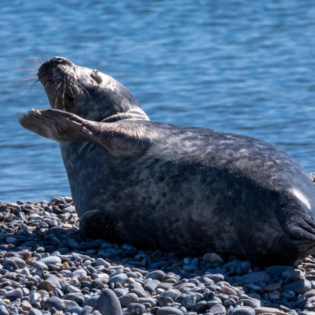 """Laughing seal"" stock image"