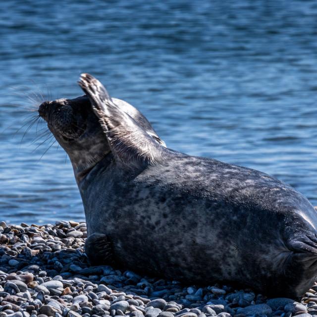 """waving Seal"" stock image"