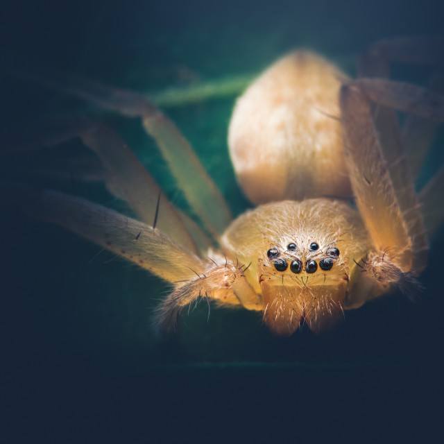 """Closeup of a Huntsman Spider"" stock image"