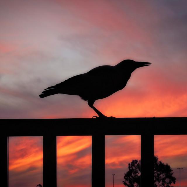 """Australian Magpie sunset silhouette"" stock image"
