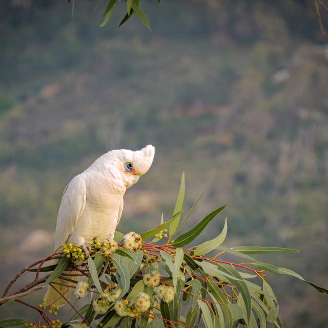 """""""Corella on a eucalyptus branch"""" stock image"""