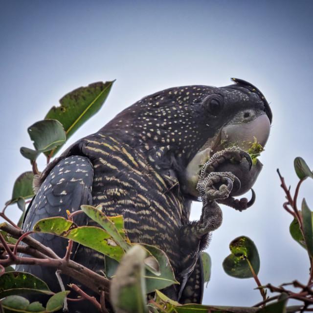 """Black Cockatoo eating a gum nut"" stock image"