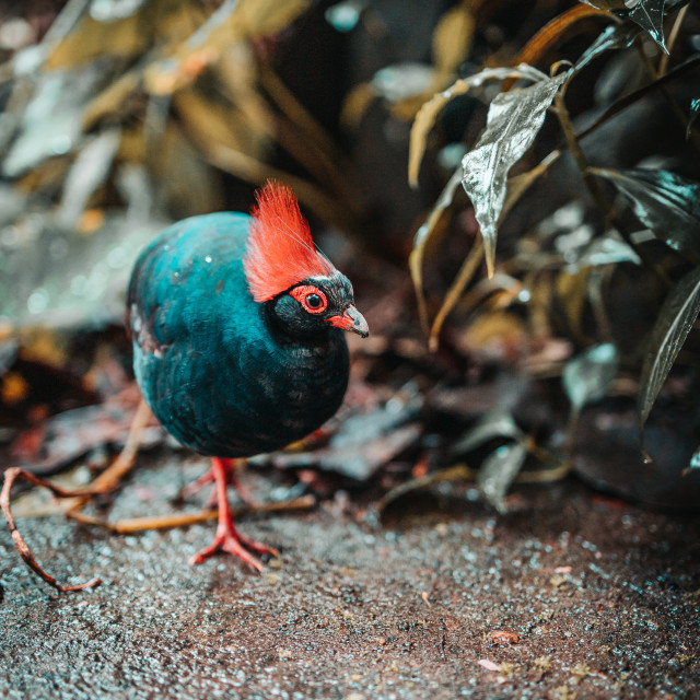"""""""Roul-roul partridge at The Eden Project"""" stock image"""