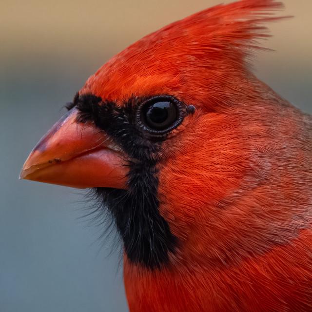 """Northern Cardinal Portrait"" stock image"