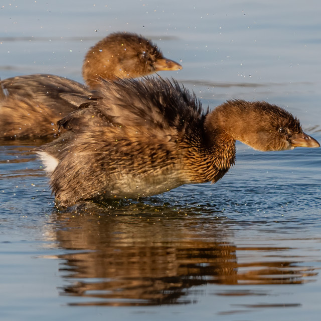 """""""Pied-billed Grebes"""" stock image"""