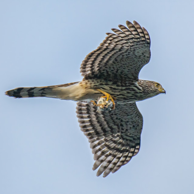 """""""Coopers Hawk with Prey"""" stock image"""