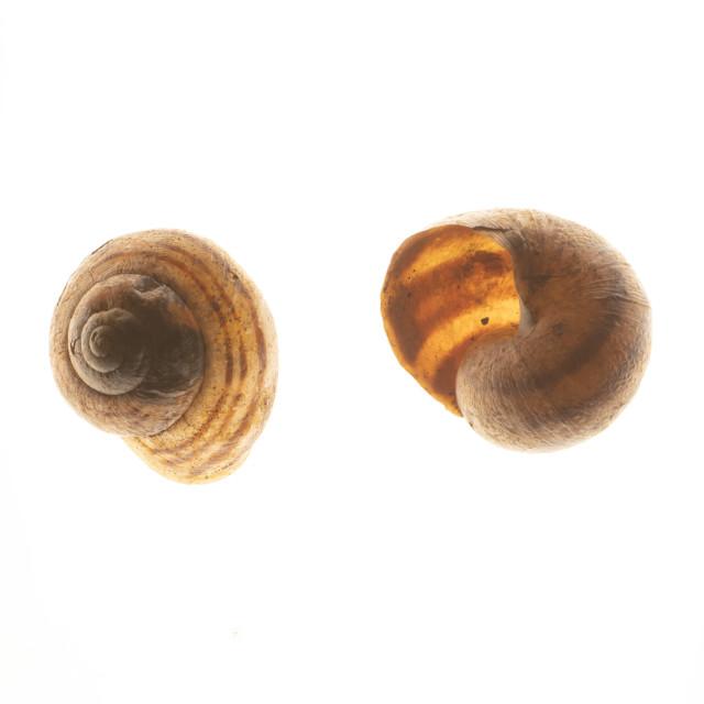 """Two empty snail shells, macro"" stock image"