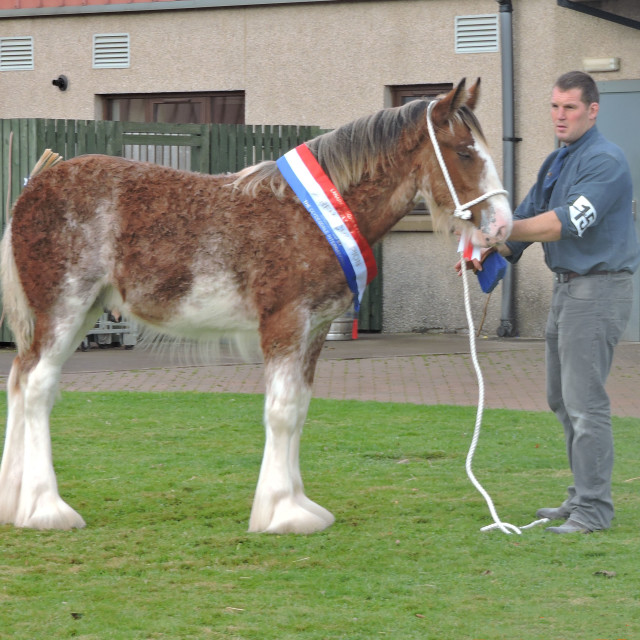 """""""Clydesdale Horse Society October 2016 Champion"""" stock image"""