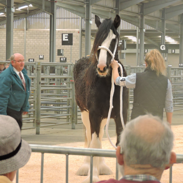 """""""Clydesdale Horse Society October 2016"""" stock image"""
