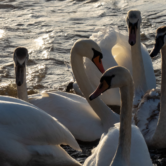 """Swans"" stock image"