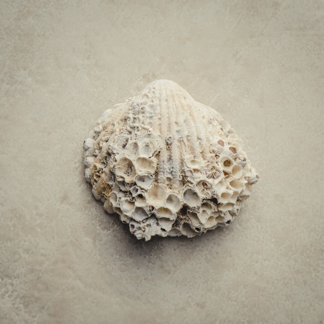 """""""Mediterranean sea shell overgrown, Cockle shell"""" stock image"""