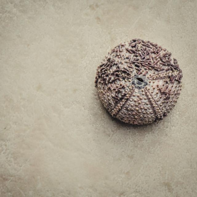 """Mediterranean sea urchin"" stock image"