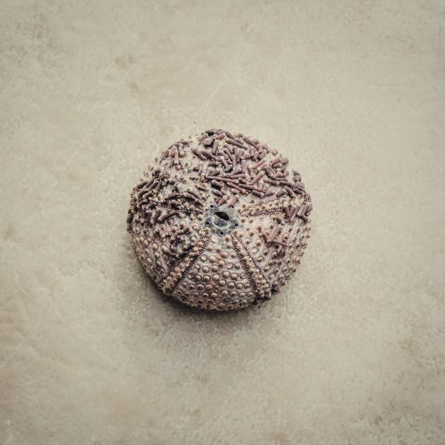 """sea urchin"" stock image"
