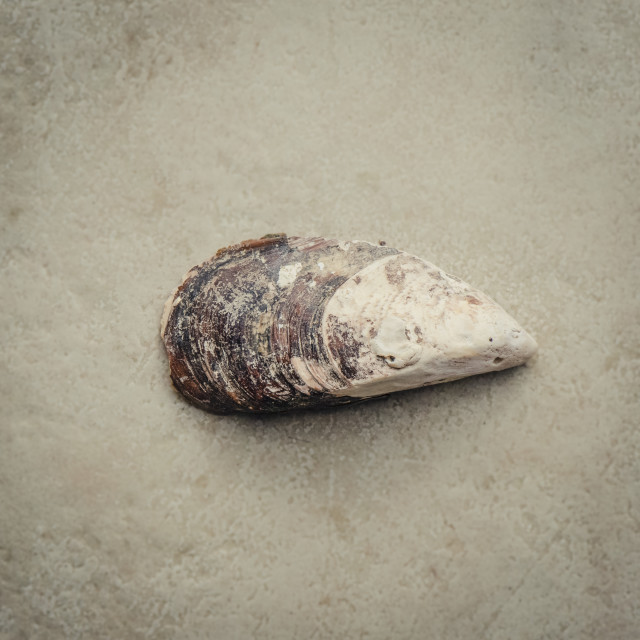 """""""Mussel"""" stock image"""