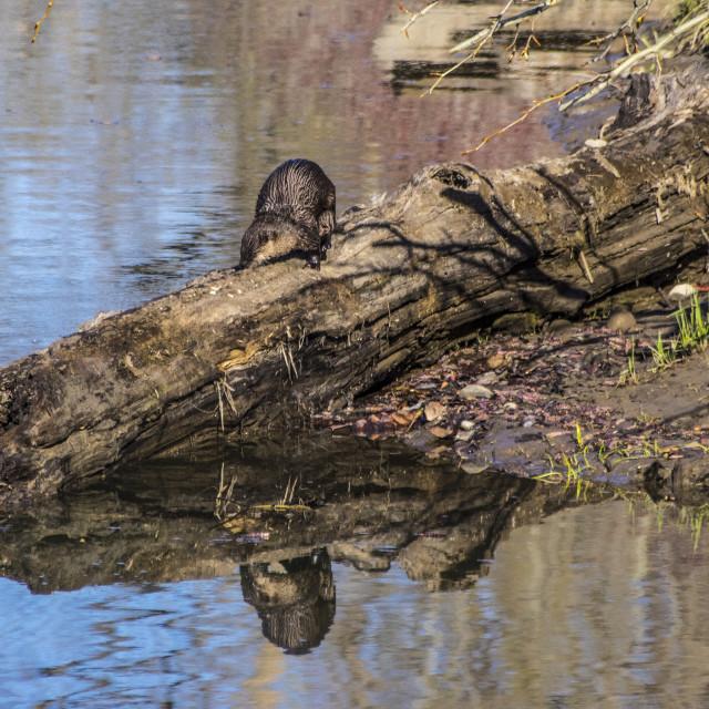 """River Otter"" stock image"