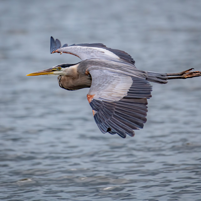 """""""Great Blue Heron Flyby"""" stock image"""