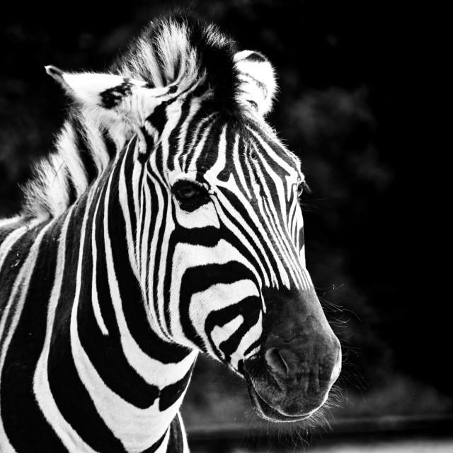 """""""Zebra Stripes"""" stock image"""