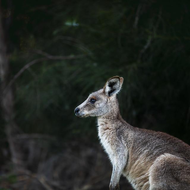 """Kangaroo Way 0305"" stock image"