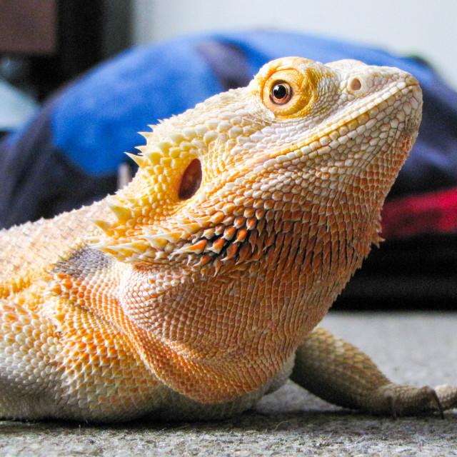"""Bearded Dragon"" stock image"
