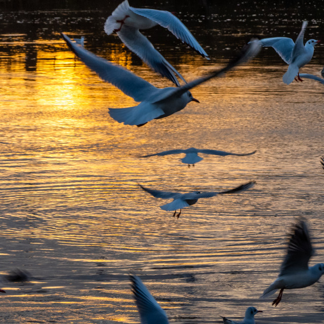 """""""Gulls on The River Trent"""" stock image"""