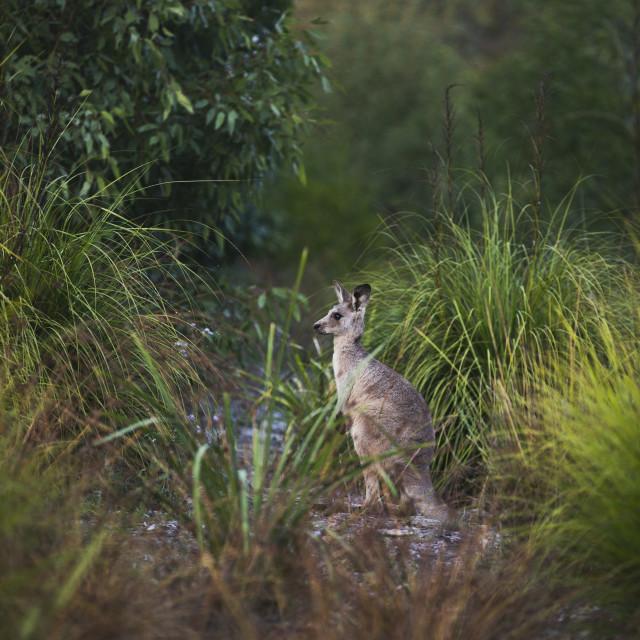 """Kangaroo Way 0306"" stock image"