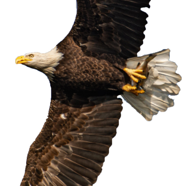 """""""Bald Eagle With Fish - Cut Out (Masked)"""" stock image"""