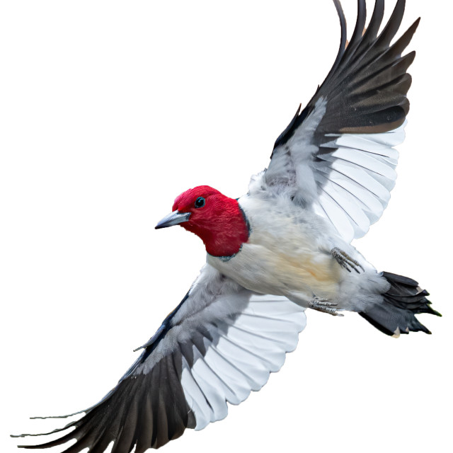 """""""Redheaded Woodpecker - Cut Out (Masked)"""" stock image"""