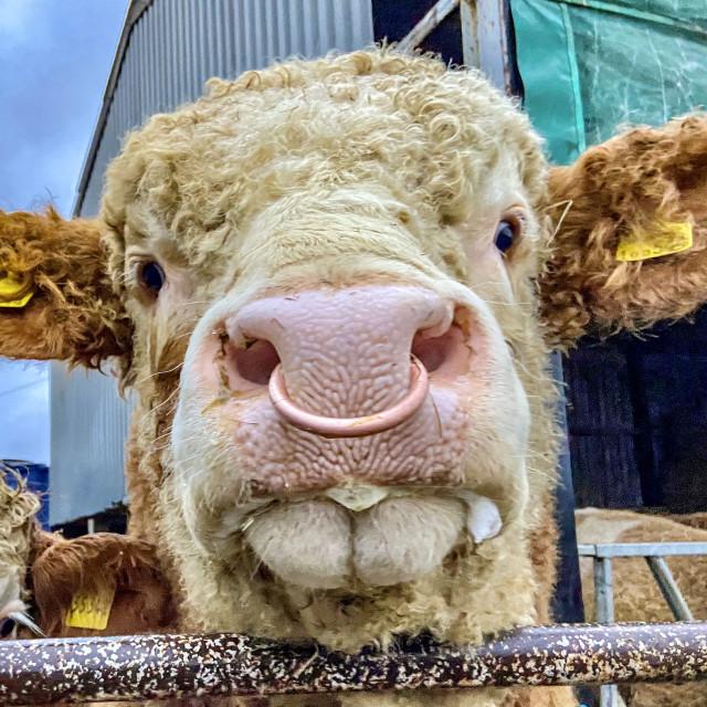 """Pinkmead Bull"" stock image"