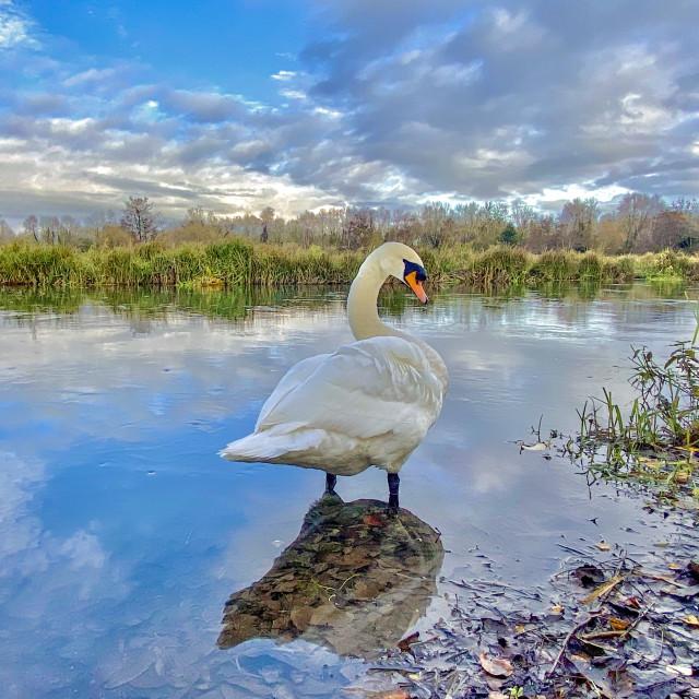 """Mansbridge Swan"" stock image"