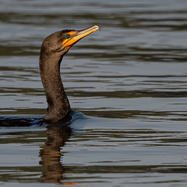 """""""Double-crested Cormorant Swimming"""" stock image"""