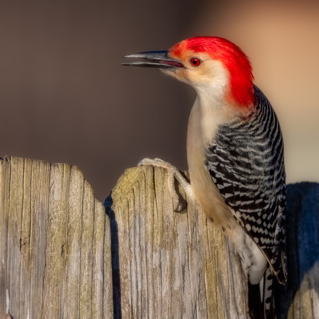 """""""Red-bellied Woodpecker on Wooden Fence"""" stock image"""
