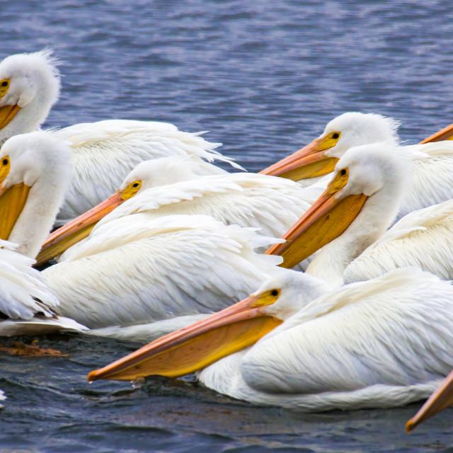 """Squadron of White Pelicans"" stock image"