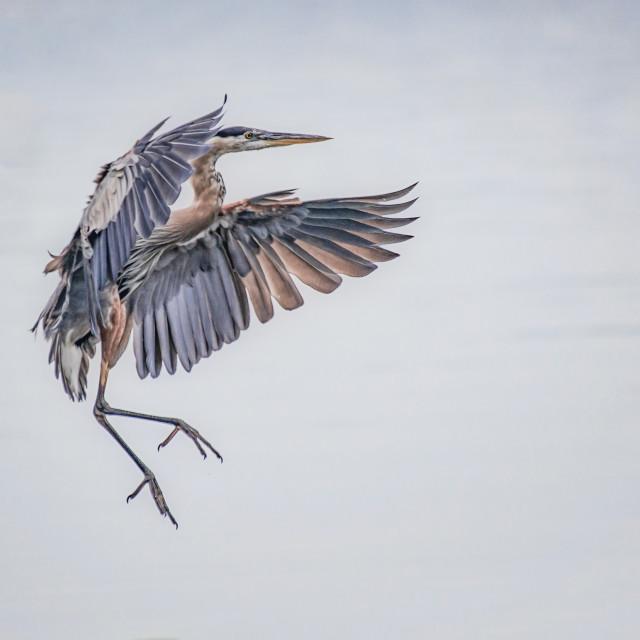 """""""Great Blue Heron Landing"""" stock image"""
