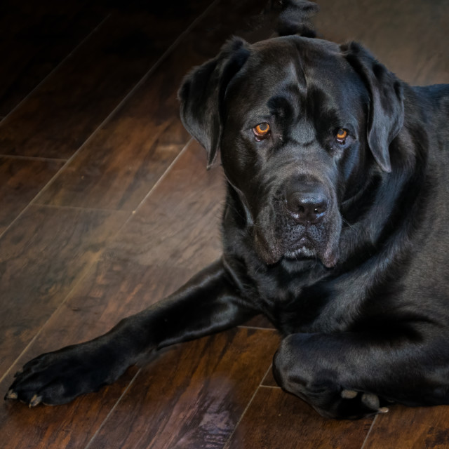 """Bull Mastiff"" stock image"