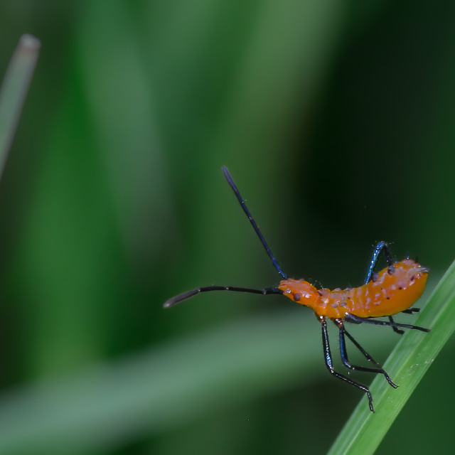 """Leaf-footed Bug Nymph"" stock image"