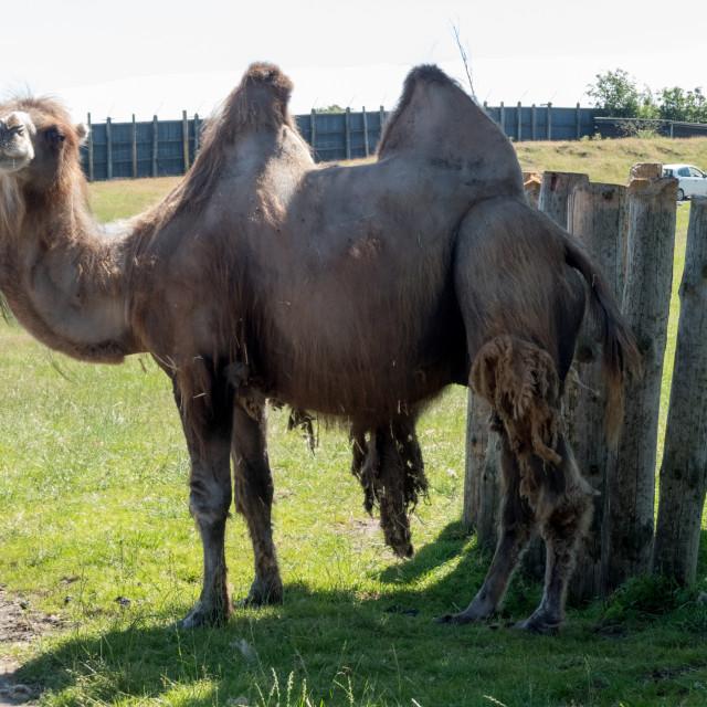 """Bactrian camel"" stock image"