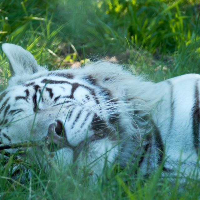 """White tiger"" stock image"