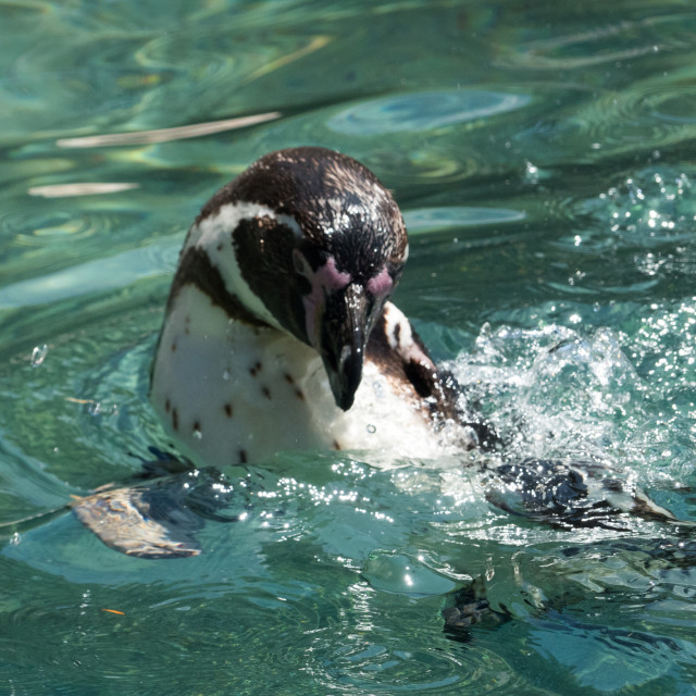 """""""Black-footed Penguin"""" stock image"""