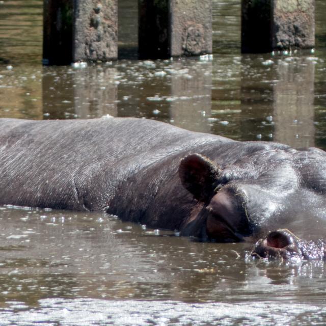 """Hippopotamus bathing"" stock image"