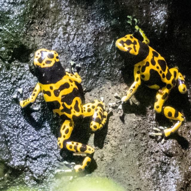 """""""Yellow-banded poison dart frog"""" stock image"""