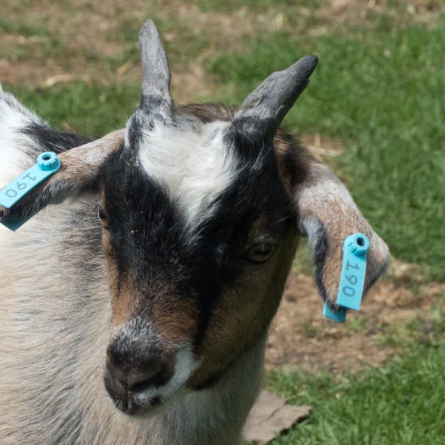 """Pigmy goat at Banham Zoo"" stock image"
