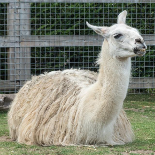 """""""Llama at Banham Zoo"""" stock image"""